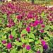 Bebunga purple #jerlun #iphone #instagood #kedah #jerlun