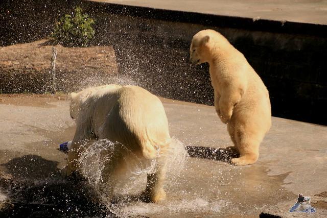 Eisbär Fiete im Zoo Rostock 038