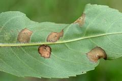 Dasineura fraxinea on fraxinus excelsior