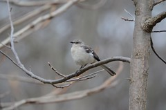 Northern Mockingbird, Virginina