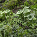 Cladonia asahinae. (pixie cup lichen) by Bernard Spragg