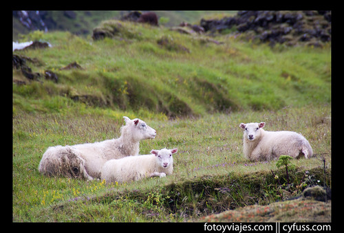 Sheeps in break