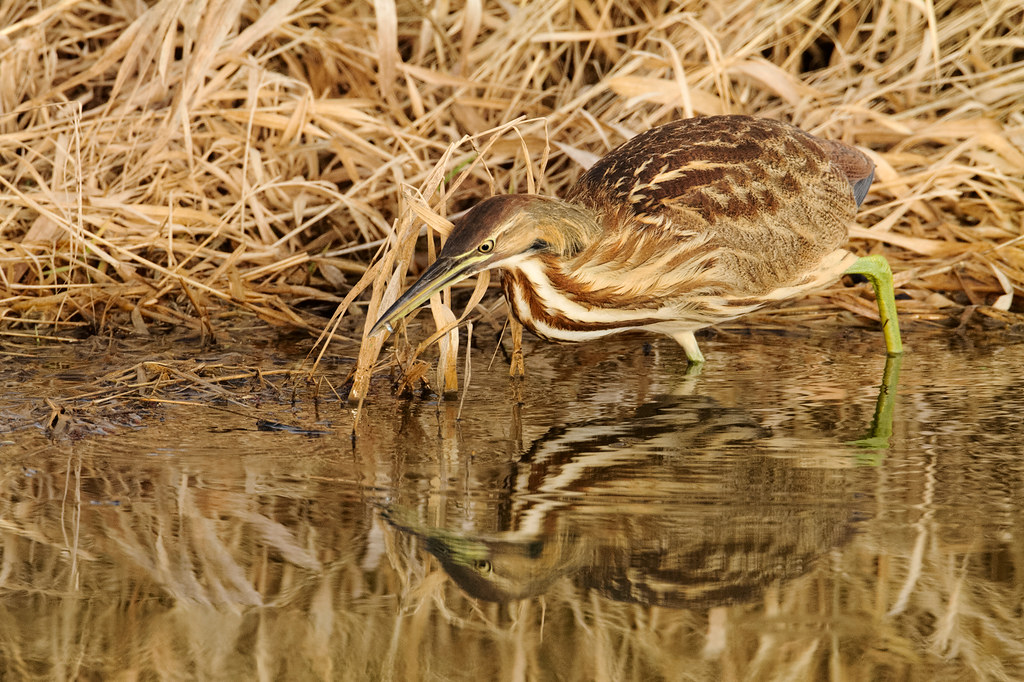 An American bittern catches a small fish