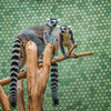 lemurs on a limb