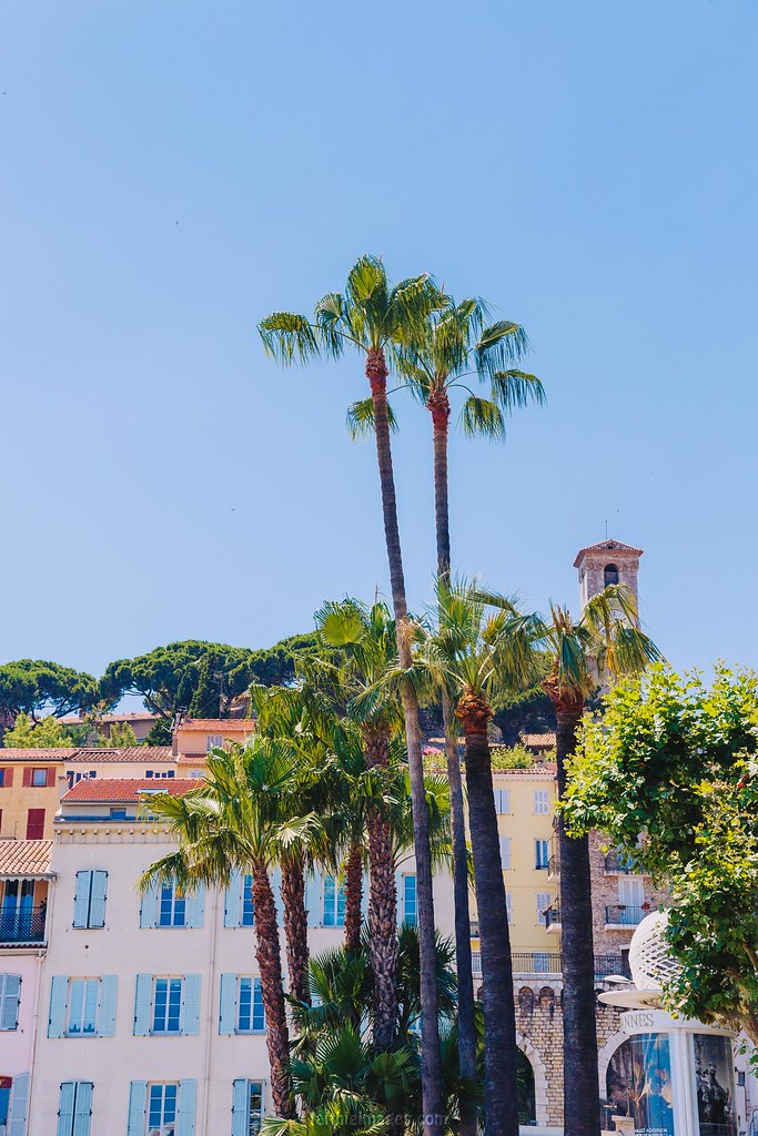 Insanely tall palm trees