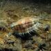 Small photo of Queen Scallop (Aequipecten opercularis)