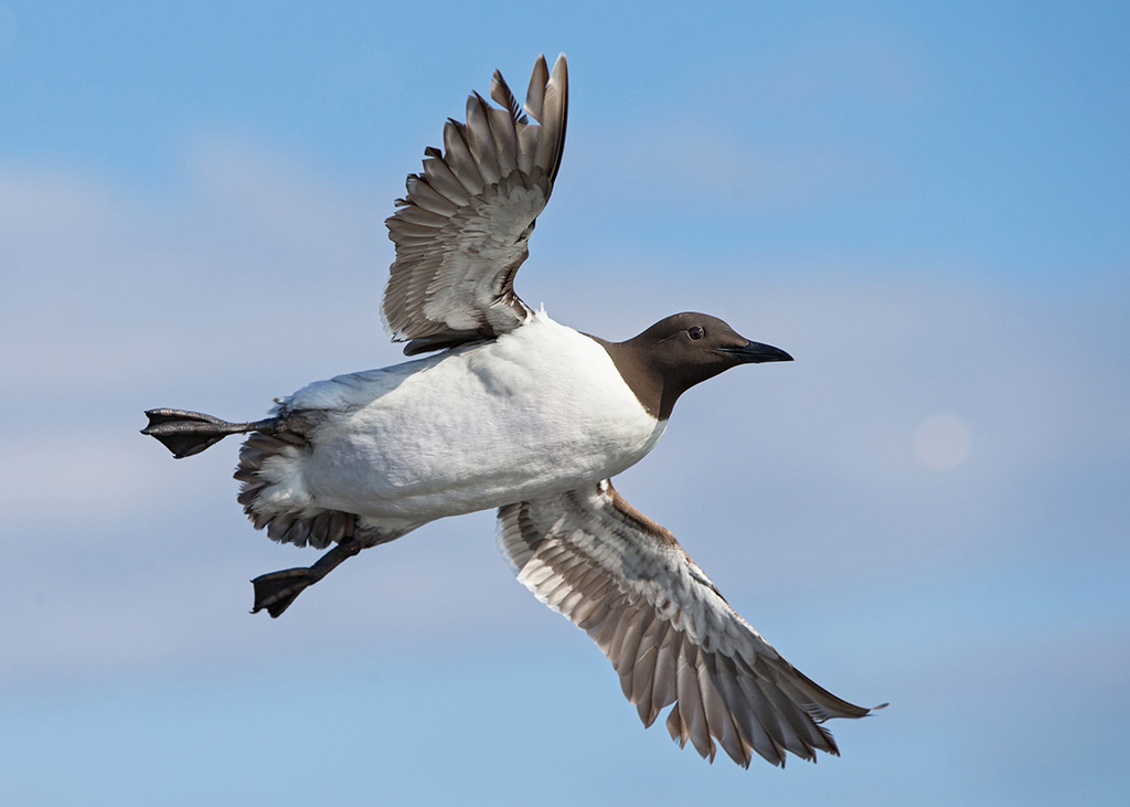 Common Guillemot     Uria aalge