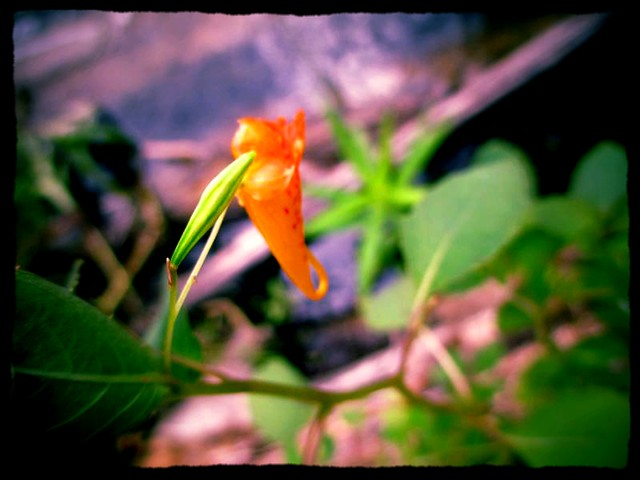 IMG_8813 Jewel Weed