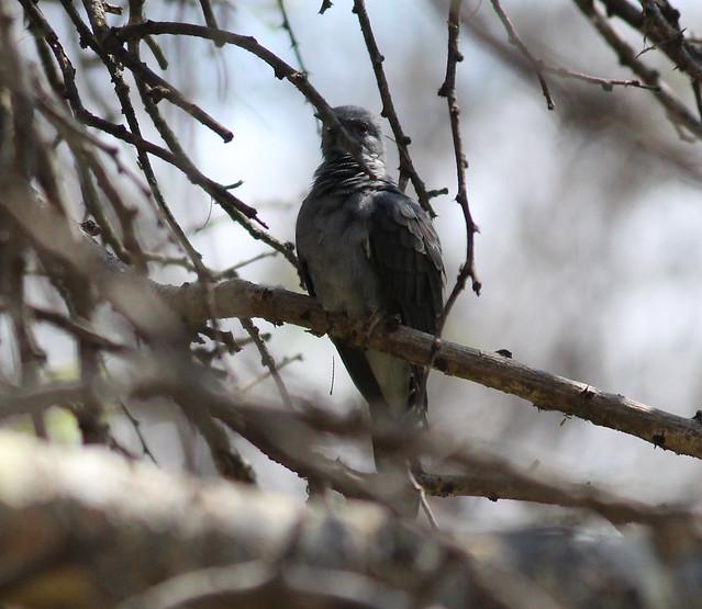 Indian Plaintive Cuckoo Male2