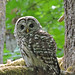 Gordon Bay Barred Owl by RebelRob