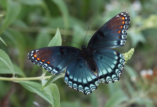 blue orange butterfly northcarolina mimic swallowtail richmondcounty limenitisarthemis redspottedpurple battusphilenor thinfilminterference pipevineswallowtailmimic opticalactivity