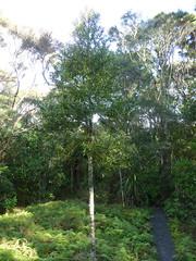 Agathis australis (kauri). Fernglen Native Plant G...