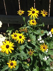 Black Eyed Susans grown from seed