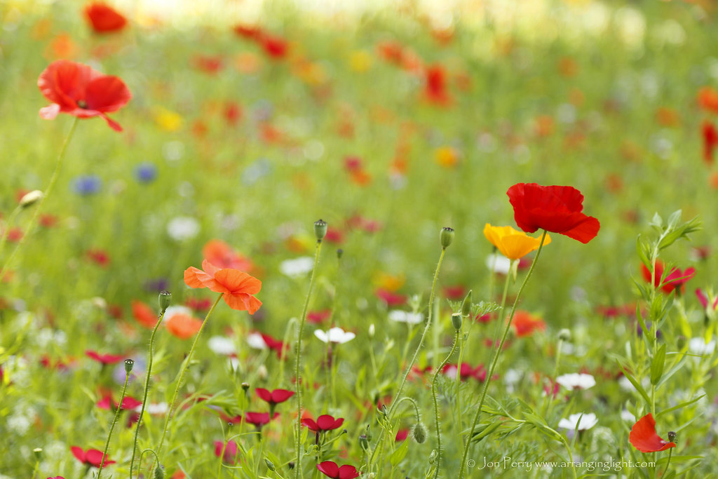 _C0A4327REW Chiswick House Meadow Flowers, Jon Perry - Enlightenshade, 2-8-15 zan