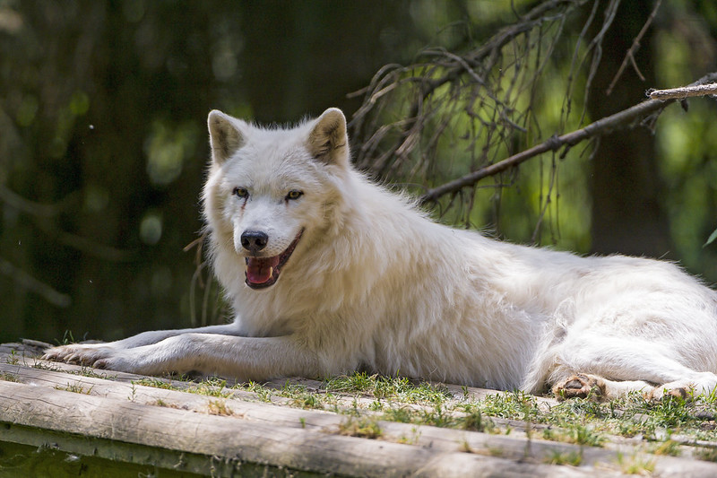 Arctic wolf lying on the platform