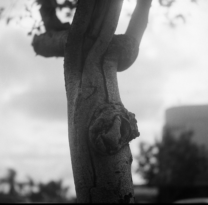 Tree Detail, North Park, San Diego