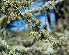 Cedrus atlantica 'Glauca' (Blue Atlas Cedar)