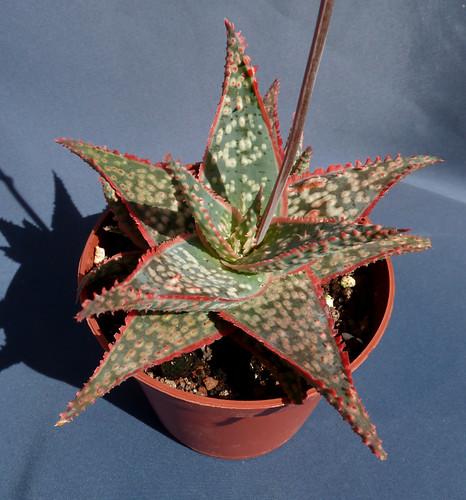 Aloe rauhii 18429189799_7b6e04a156