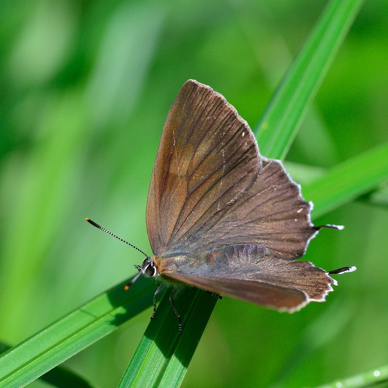 Neozephyrus japonicus / The Green Hairstreak (Type-O)