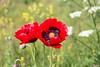 Wild Poppies - IMG_6102