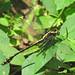 Black-shouldered spinyleg, male (Dromogomphus spinosus) by Vicki's Nature