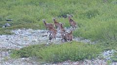 On y débusque un troupeau de mouflons