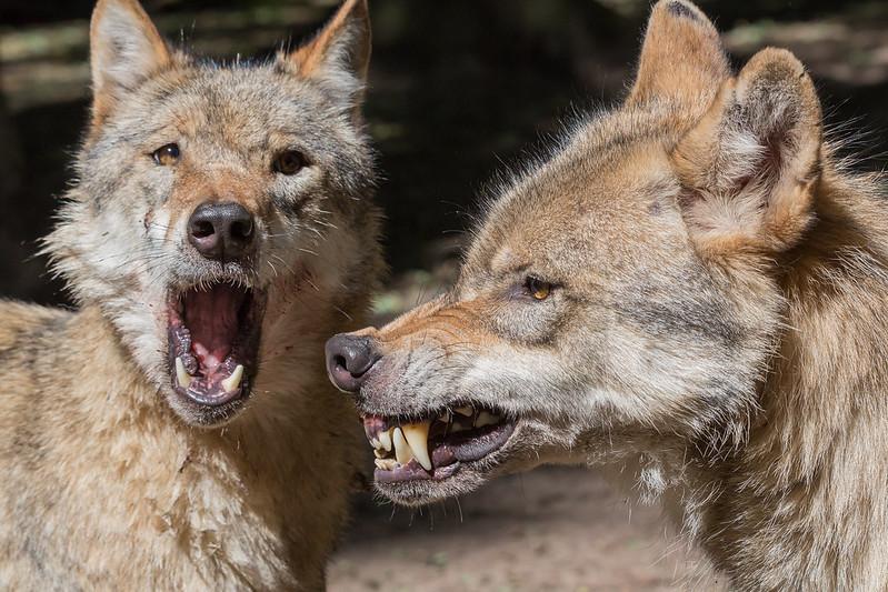 Eurpäischer Grauwolf (Canis lupus lupus)