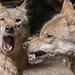 Eurpäischer Grauwolf (Canis lupus lupus) by Matthias.Kahrs