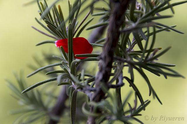 Petalo Rosso
