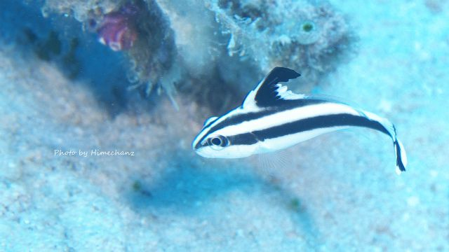 今年はよく目にするコロダイ幼魚