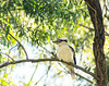 Kookaburra sits in an old gum tree ... maybe a young iron bark tree by stephanieu14