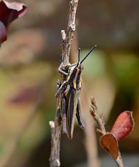 Pyrgomorphid Grasshopper (Ochrophlebia cafra)