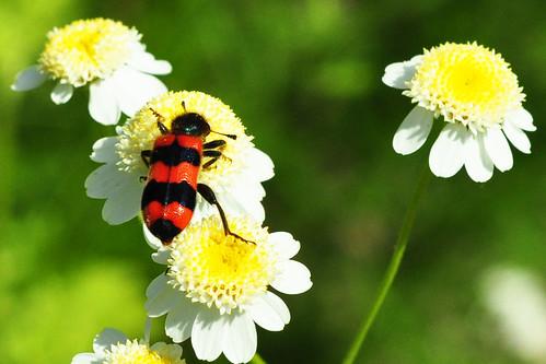 Käfer Bienenkäfer Gemeiner Bienenkäfer Immenkäfer Immenwolf Bienenwolf Trichodes apiarius Naturfoto Juni 2015 Brigitte Stolle