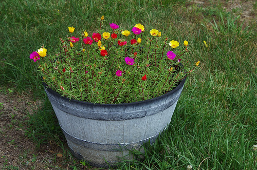 9198 Portulaca Pot in June 2015 Flickr