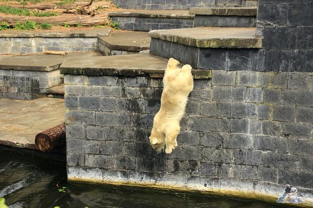 Eisbär Fiete im Zoo Rostock 12.07.2015 0162