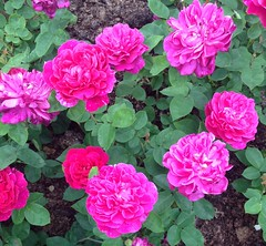 rosa wichuraiana(1.0), annual plant(1.0), garden roses(1.0), rosa 㗠centifolia(1.0), floribunda(1.0), flower(1.0), rosa gallica(1.0), plant(1.0), pink(1.0), petal(1.0),