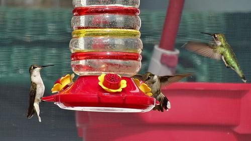 summer bird virginia hummingbird