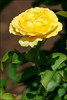 yellow rose - Lunchtime in Boston 2015-07-24 019