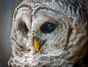 Barred Owl by Photography And Artwork of Melissa McCarthy