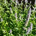 Small photo of Agastache