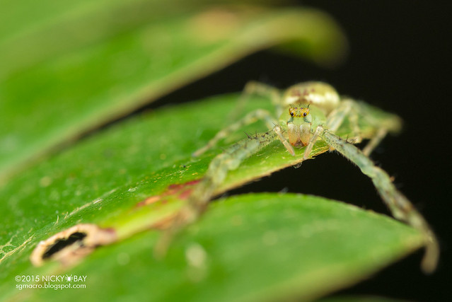 Crab spider (Epidius sp.) - DSC_5635
