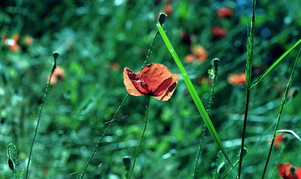 Thassos-Poppy