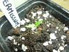 C Praetermissum