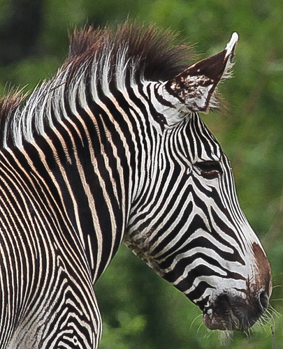 zebra in the zoo in Toronto, Canada
