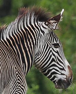 zebra in the zoo in Toronto, Canada