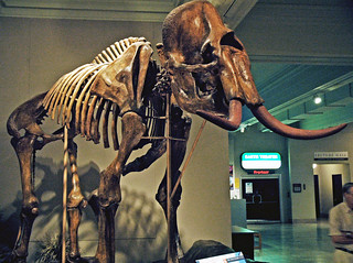 Mammuthus columbi (Columbian mammoth) (Upper Pleistocene; near Milliken, Colorado, USA) 1