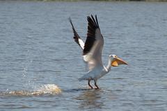IMG_7362.jpg American White Pelican