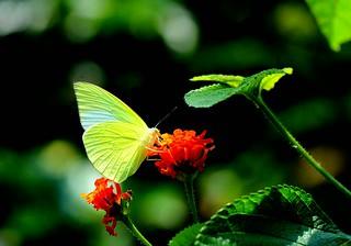 無紋型黃蝶。(攝影:許書國)
