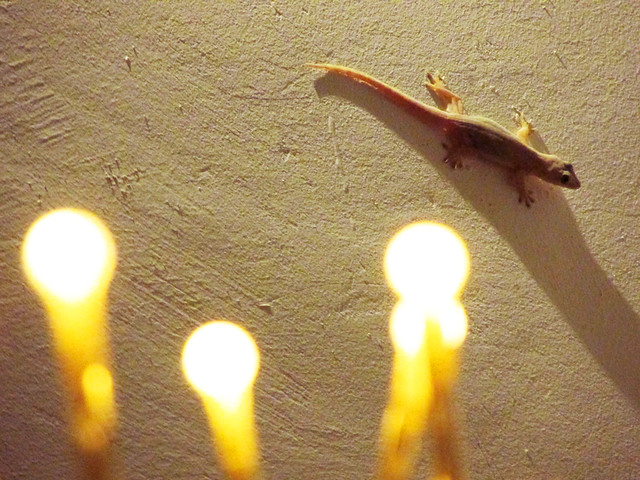 Gekko in Candlelight