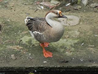 American Black Duck at Delhi Zoo